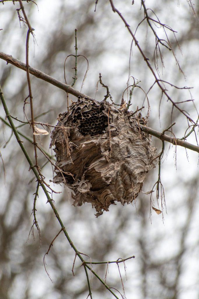 Wasps' nest, Prospect Park