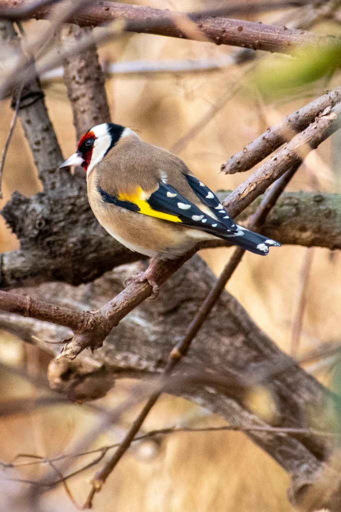 European goldfinch, Prospect Park