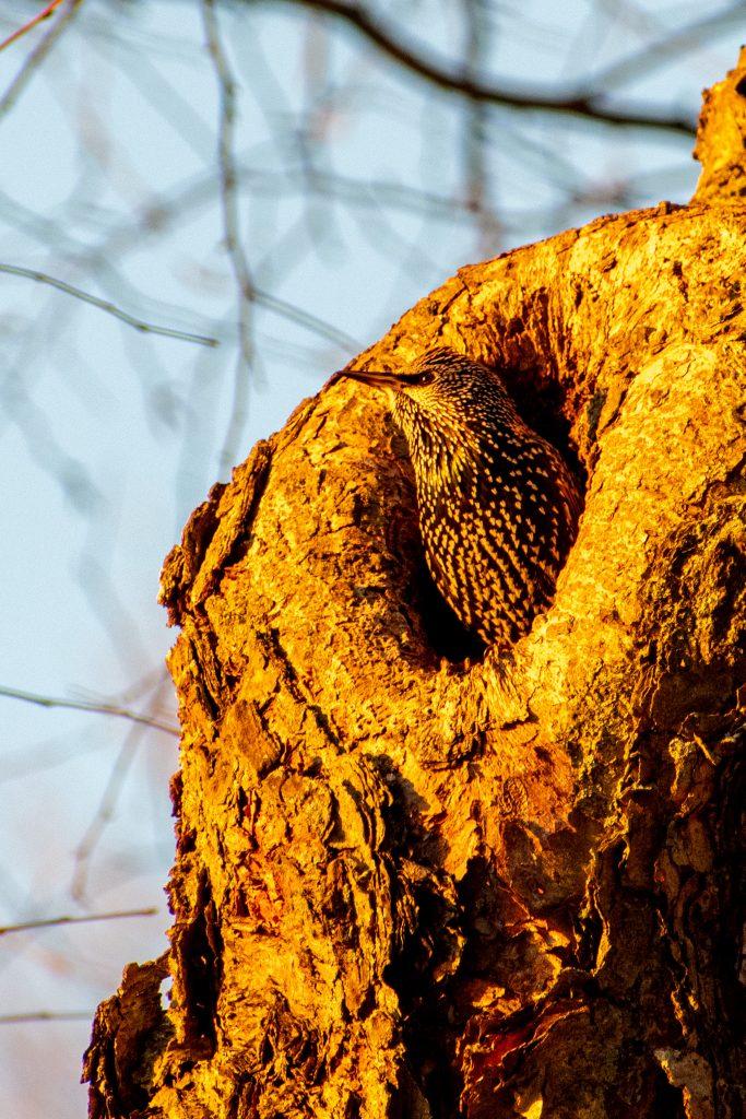 European starling, Prospect Park
