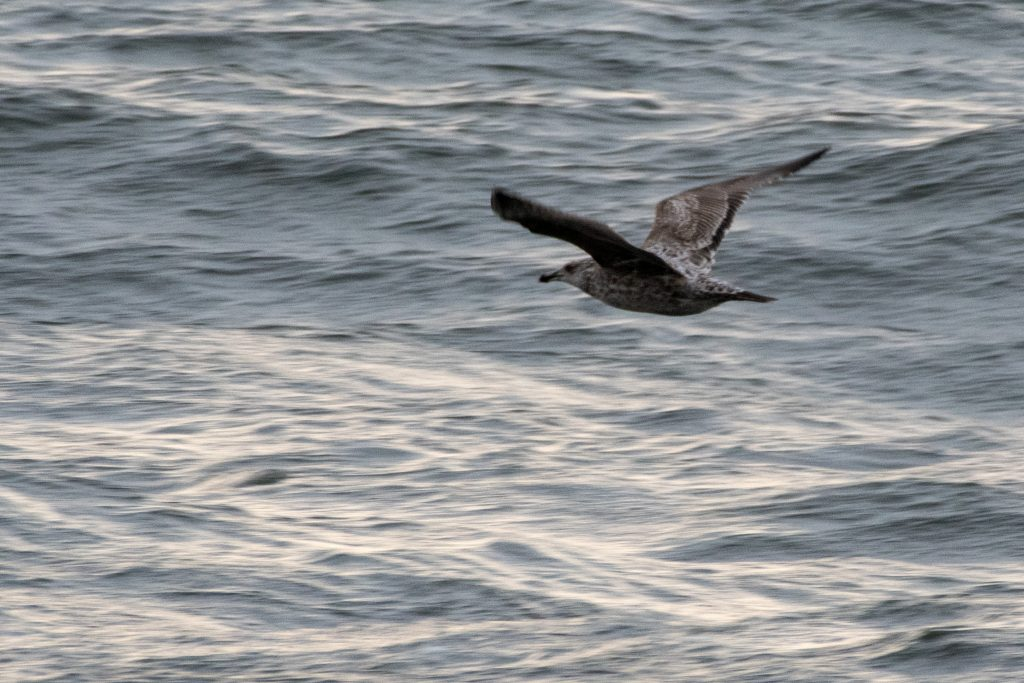 Herring gull, Jones Beach