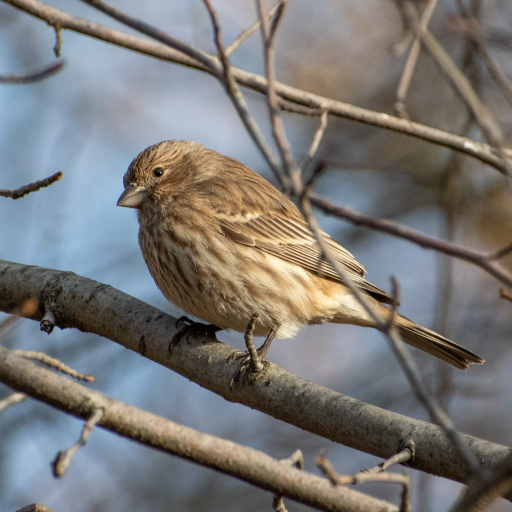 House finch (adult female), Green-Wood Cemetery