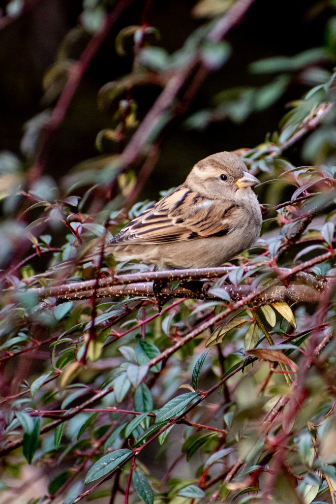 House sparrow (female), Prospect Park