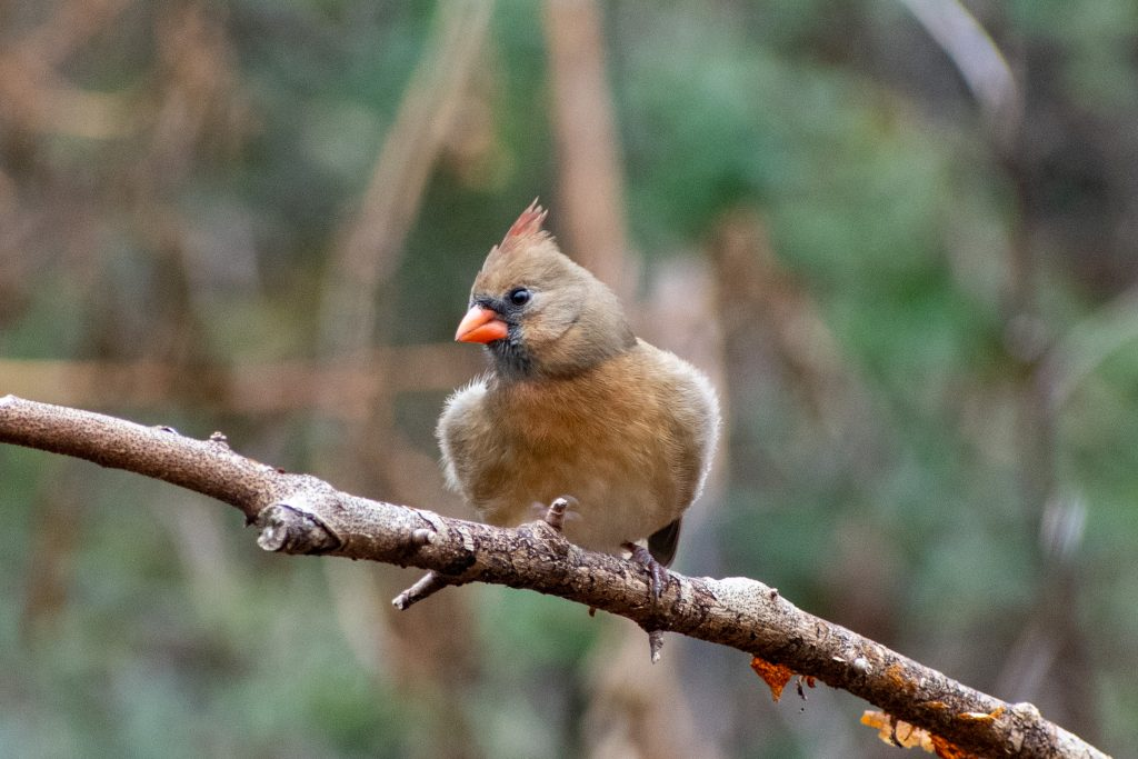Northern cardinal (female), Prospect Park