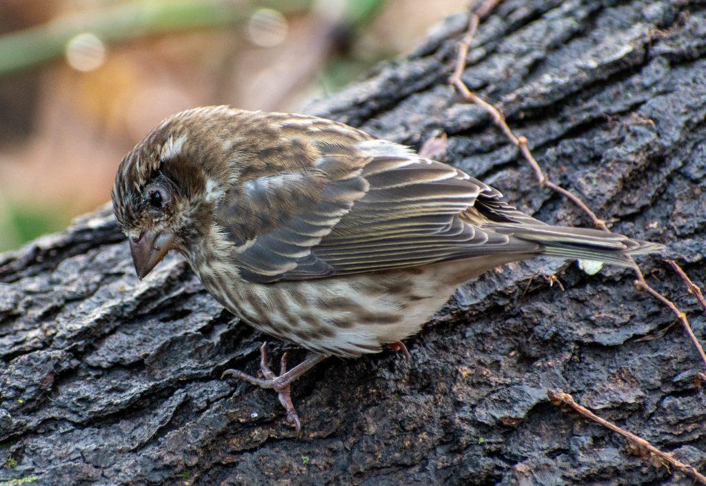 Purple finch (female, with damaged beak and conjunctivitis), Prospect Park