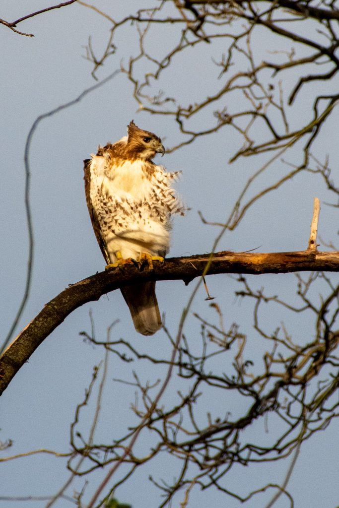 Red-tailed hawk (juvenile Eastern), Green-Wood Cemetery