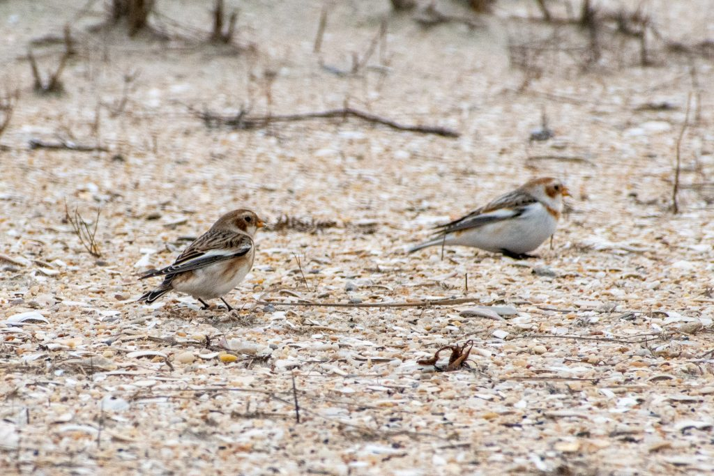 Snow buntings, Jones Beach