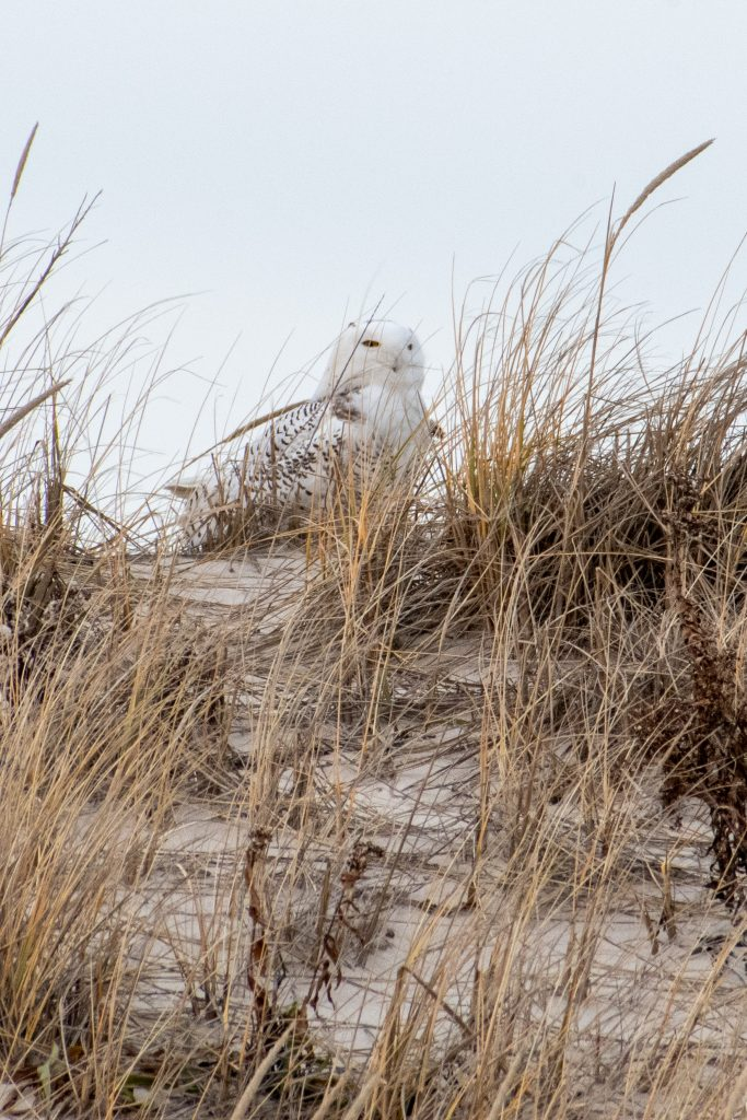 Snowy owl, Jones Beach