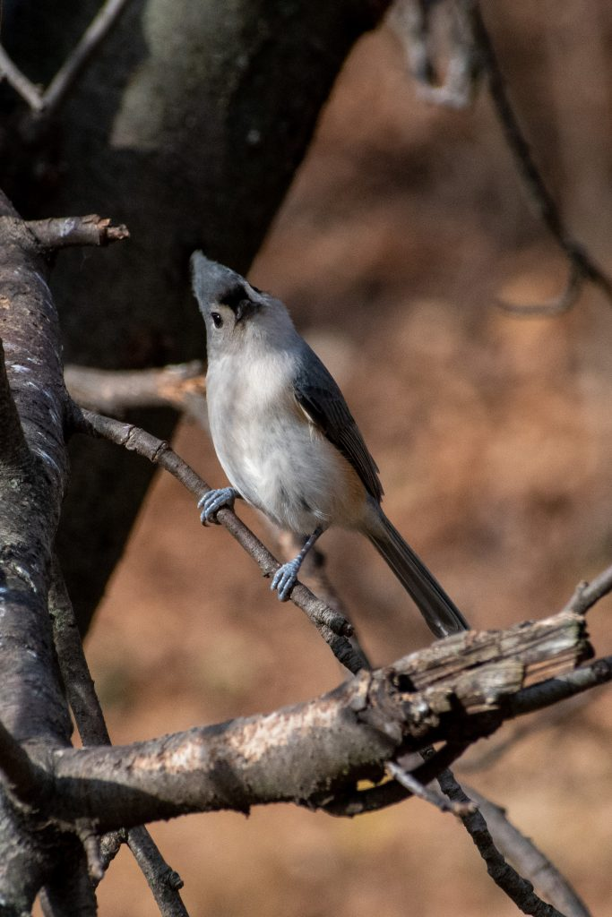 Tufted titmouse, Greenwood Cemetery