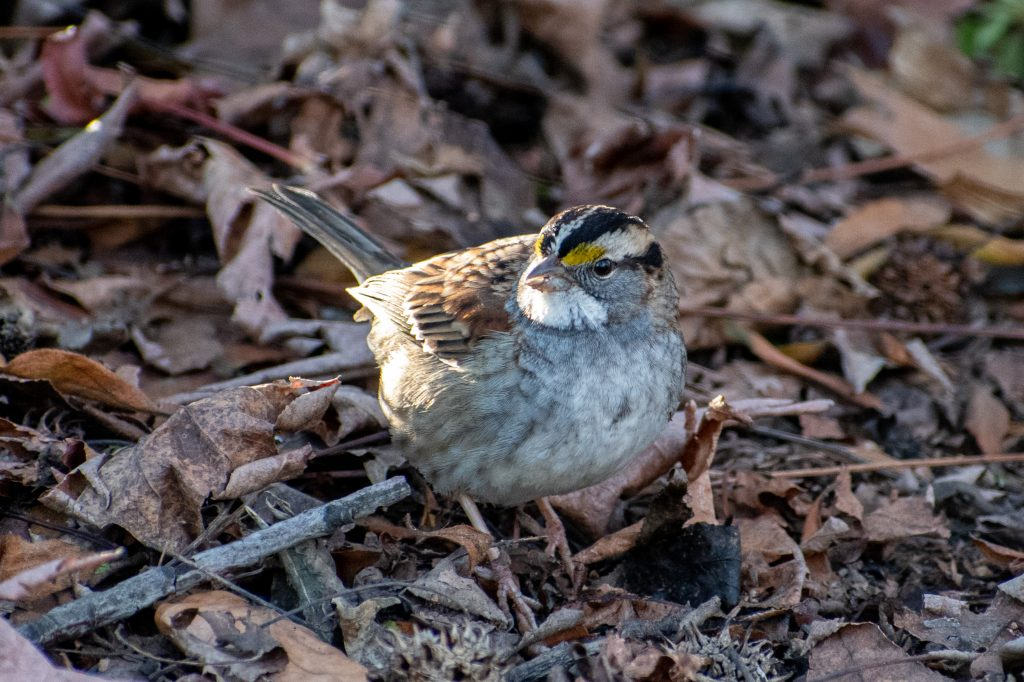 White-throated sparrow, Greenwood Cemetery