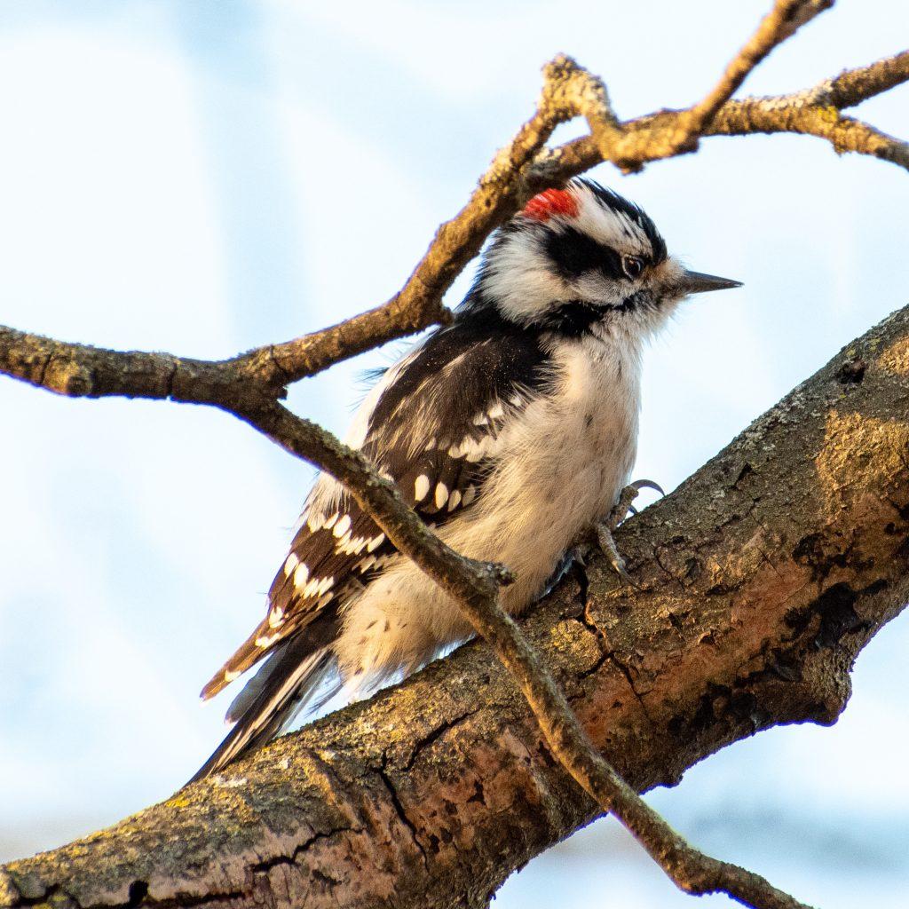Downy woodpecker, Greenwood Cemetery