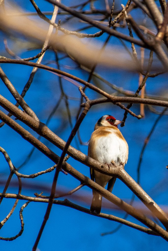 European goldfinch, Prospect Park