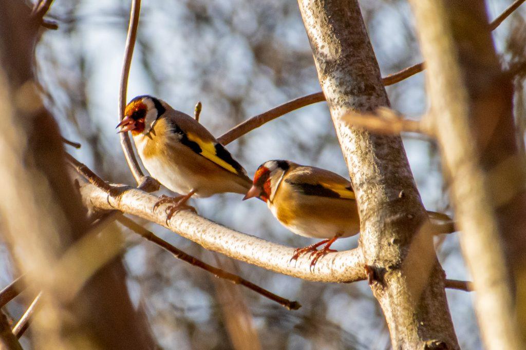 European goldfinches, Prospect Park