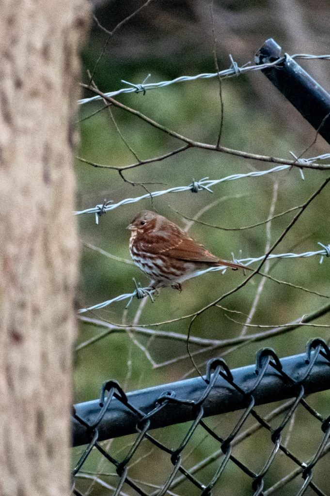 Fox sparrow (red taiga), Prospect Park