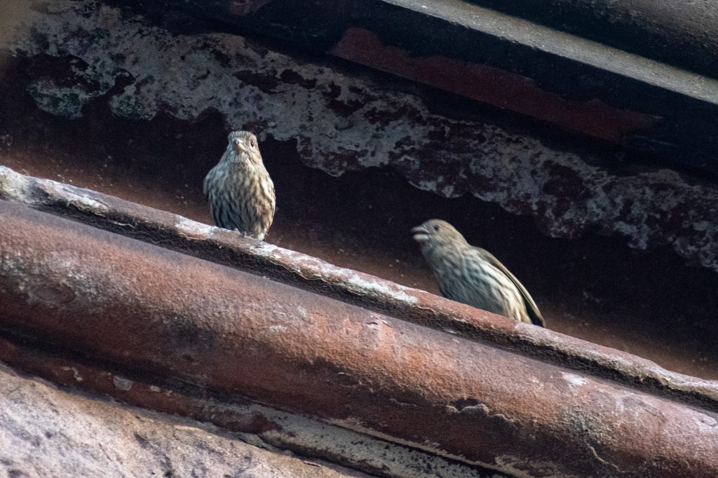 House finches, Prospect Park