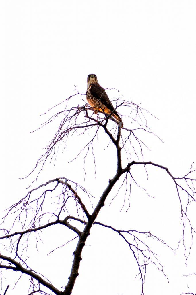 Merlin, Prospect Park