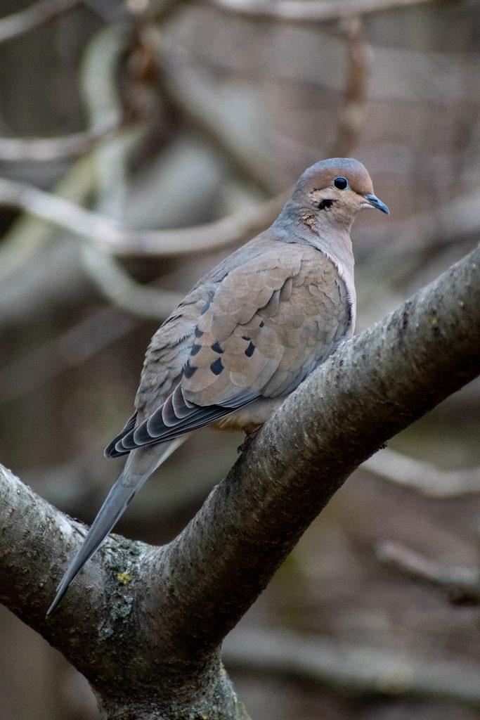Mourning dove, Prospect Park