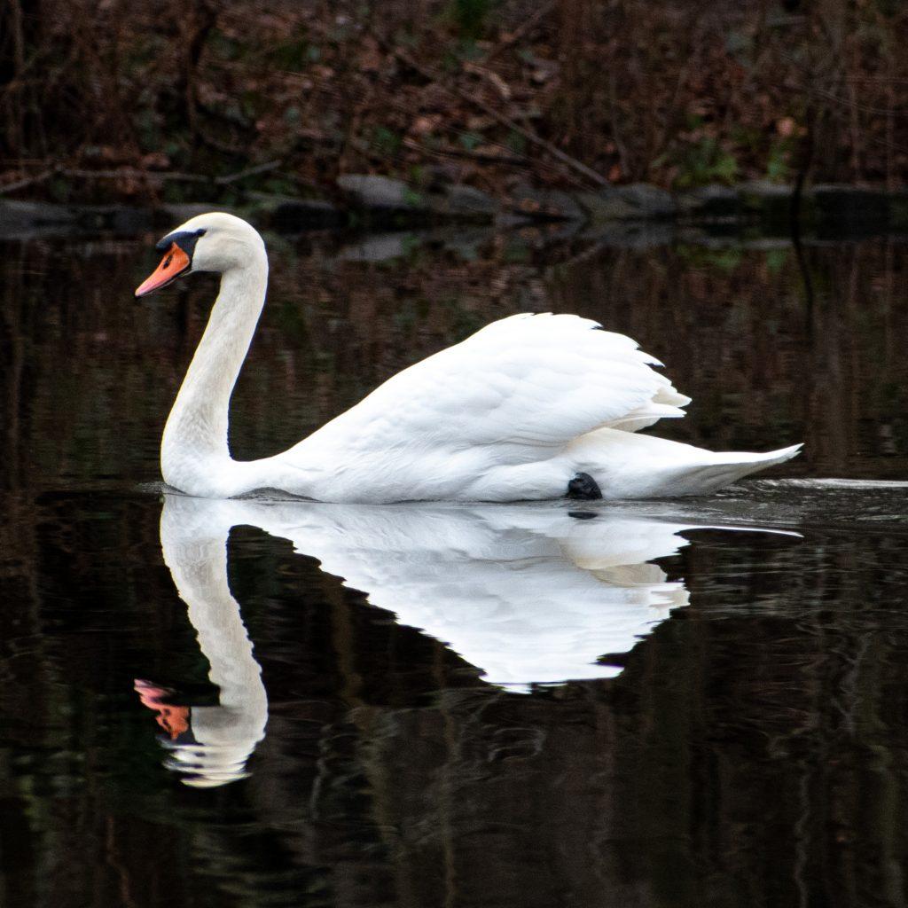 Mute swan, Prospect Park