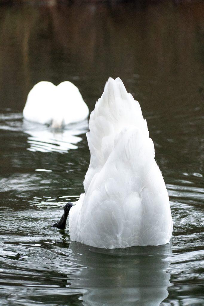Mute swans, Prospect Park