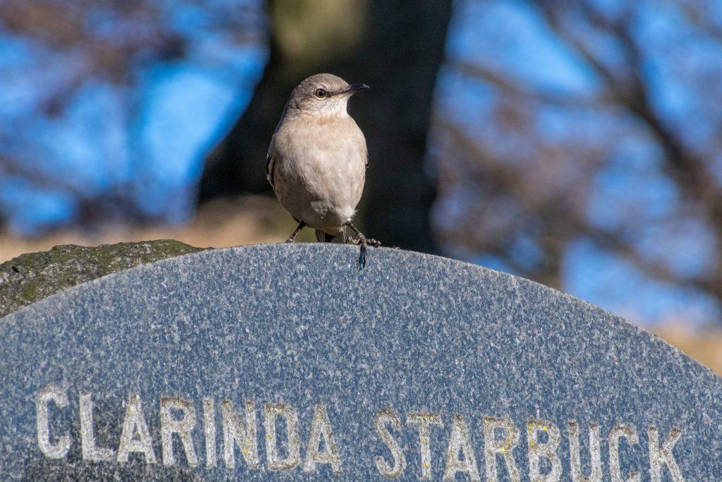 Northern mockingbird, Greenwood Cemetery