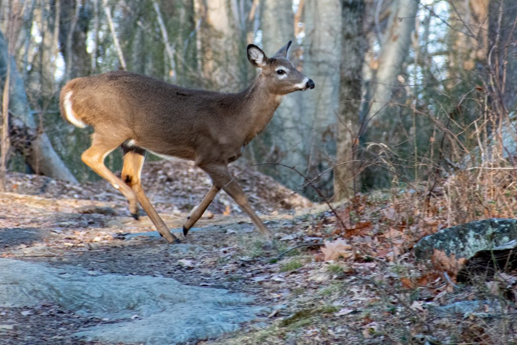 Deer, Rockefeller State Preserve