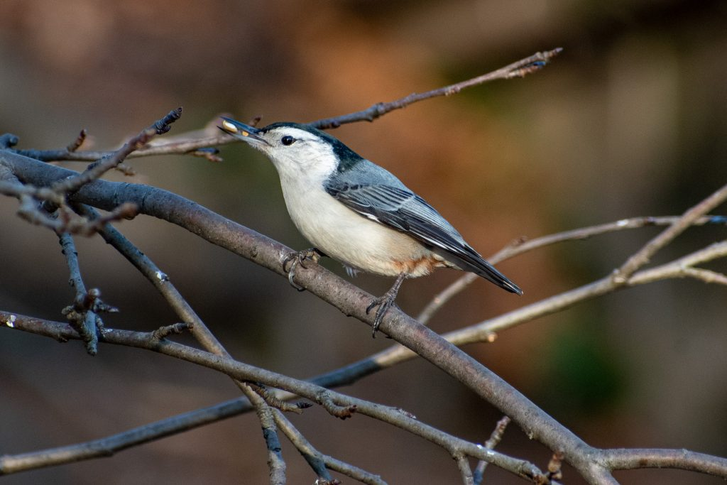 White-breasted nuthatch, Greenwood Cemetery