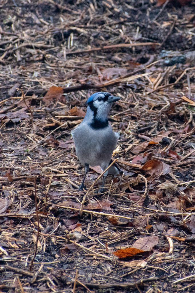 Blue jay, Prospect Park