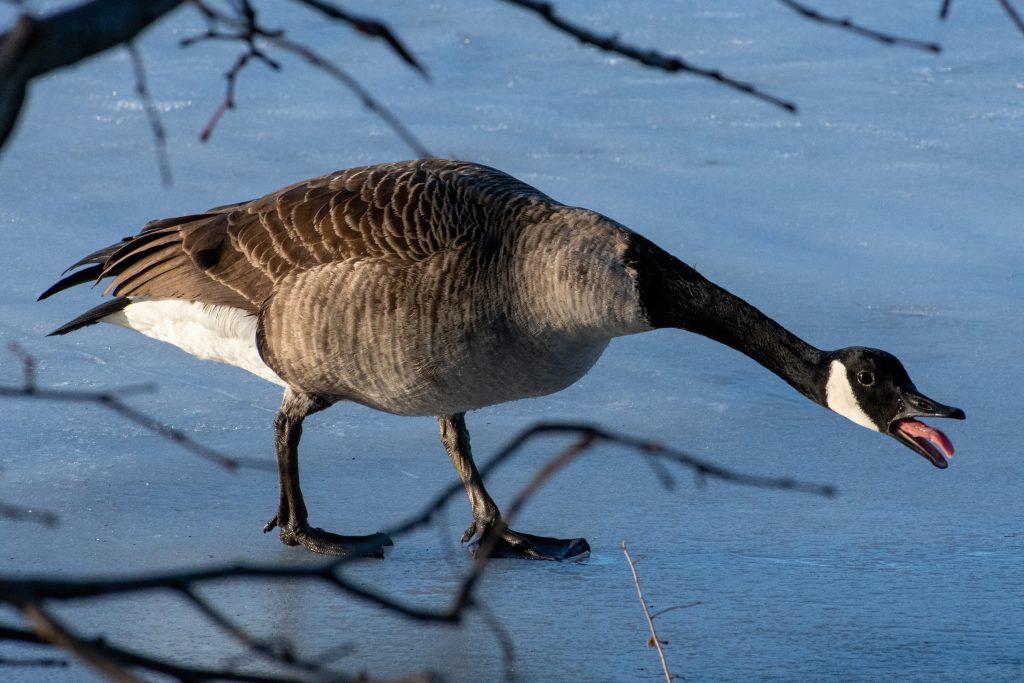 Canada goose, Prospect Park