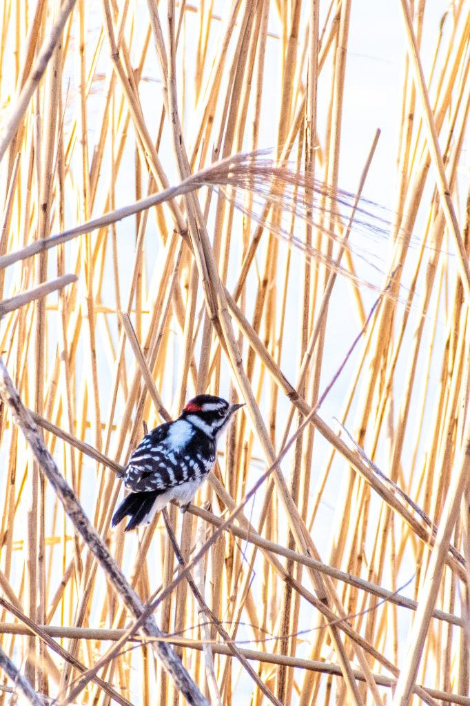 Downy woodpecker, Prospect Park