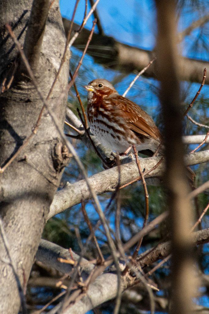 Fox sparrow, Prospect Park