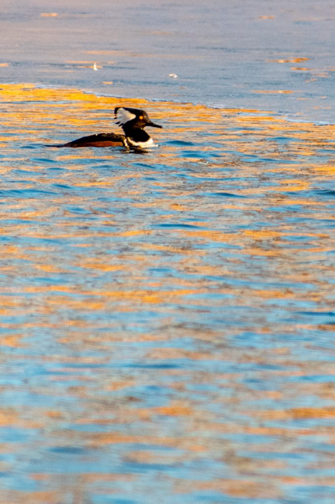 Hooded merganser, Prospect Park