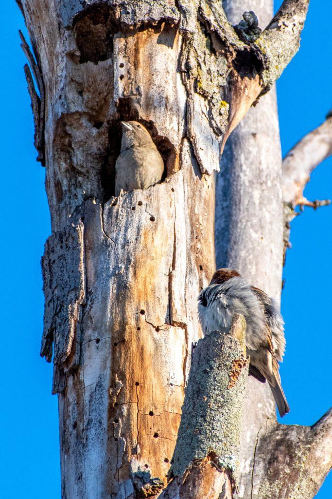 House sparrows, Prospect Park