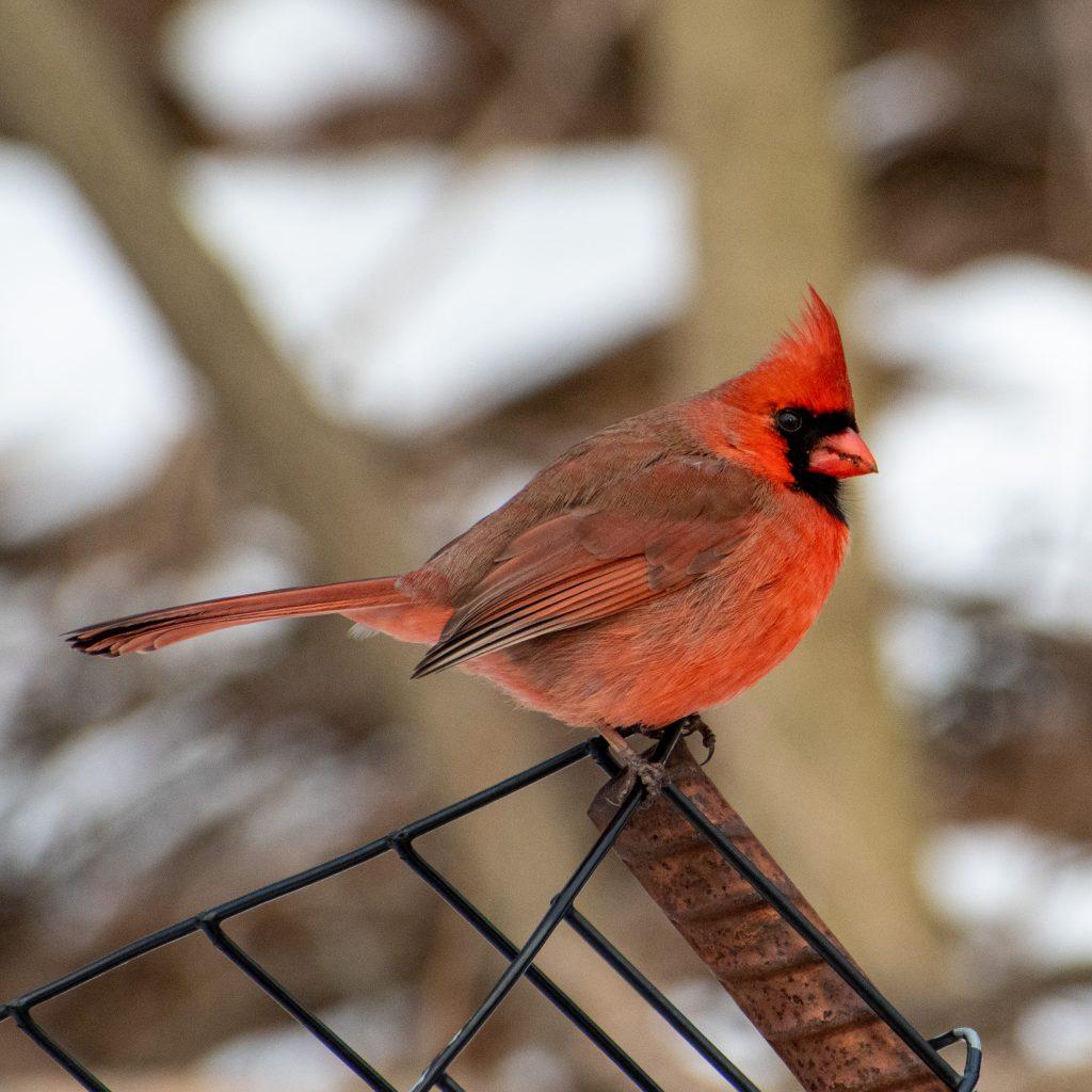 Northern cardinal (male), Prospect Park