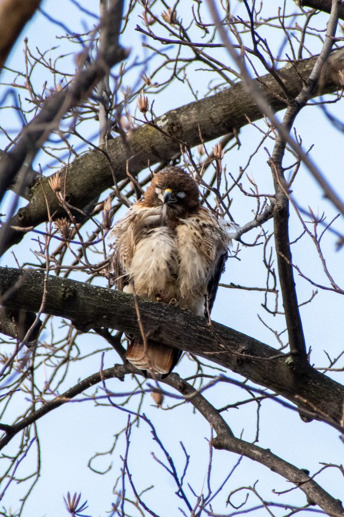 Red-tailed hawk, with nictitating membrane shut, Prospect Park