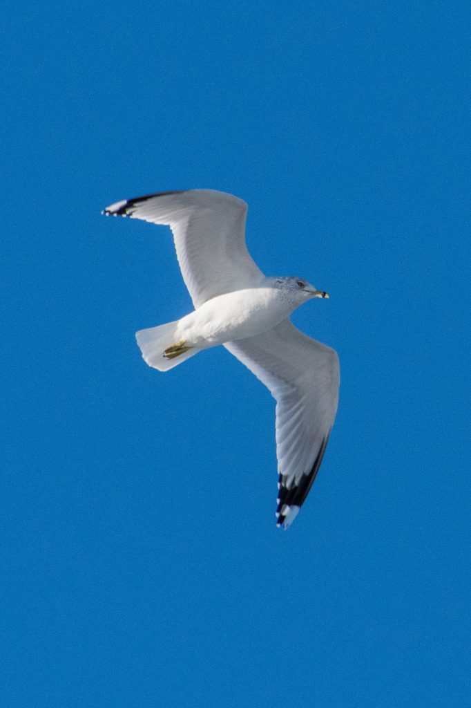 Ring-billed gull, Prospect Park