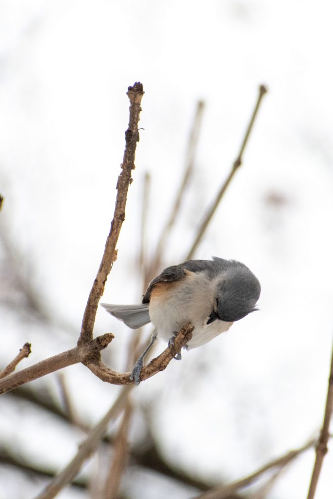Tufted titmouse, Prospect Park