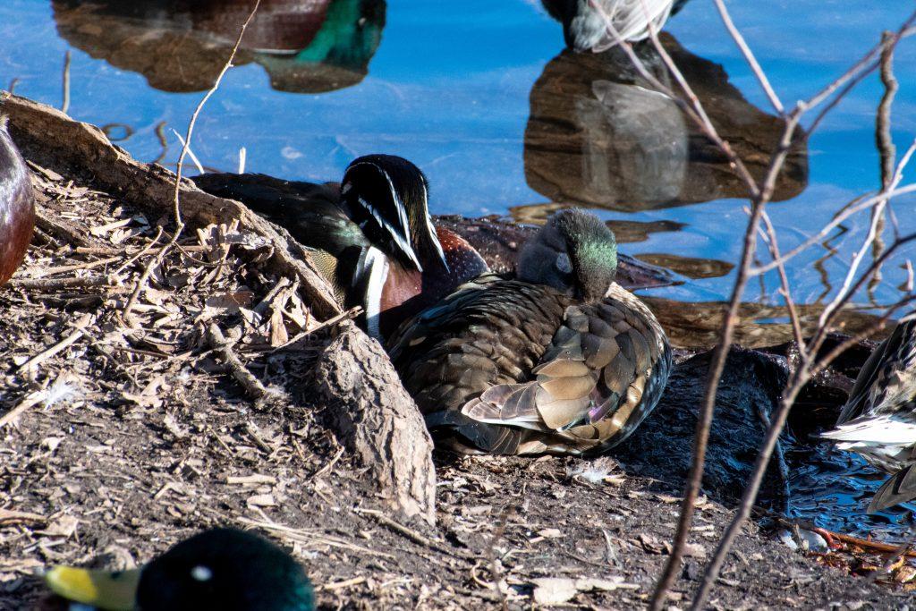 Wood ducks, Prospect Park