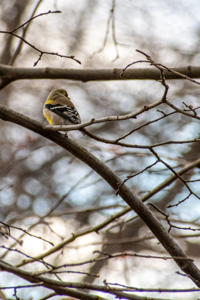 American goldfinch (female), Prospect Park
