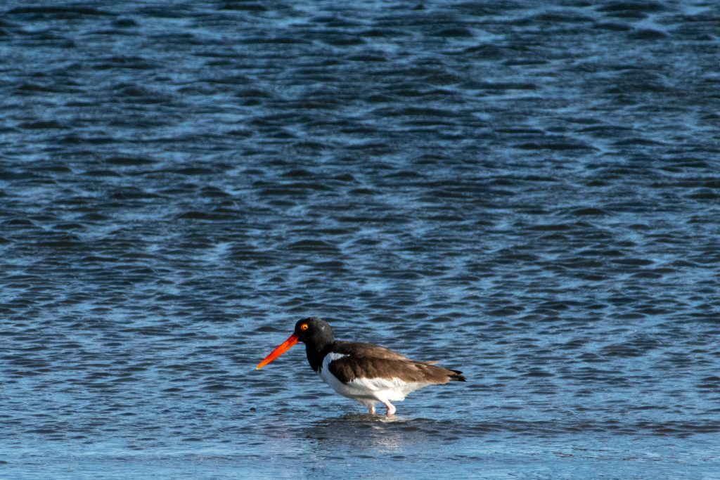 American oystercatcher, Shirley Chisholm State Park