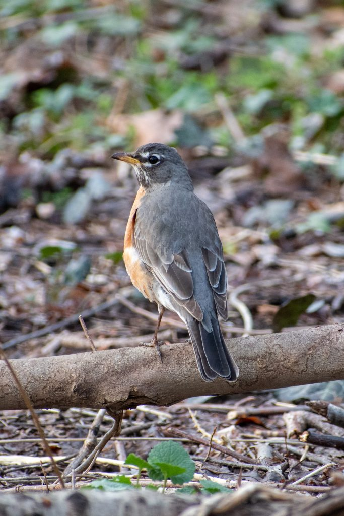 American robin, Prospect Park