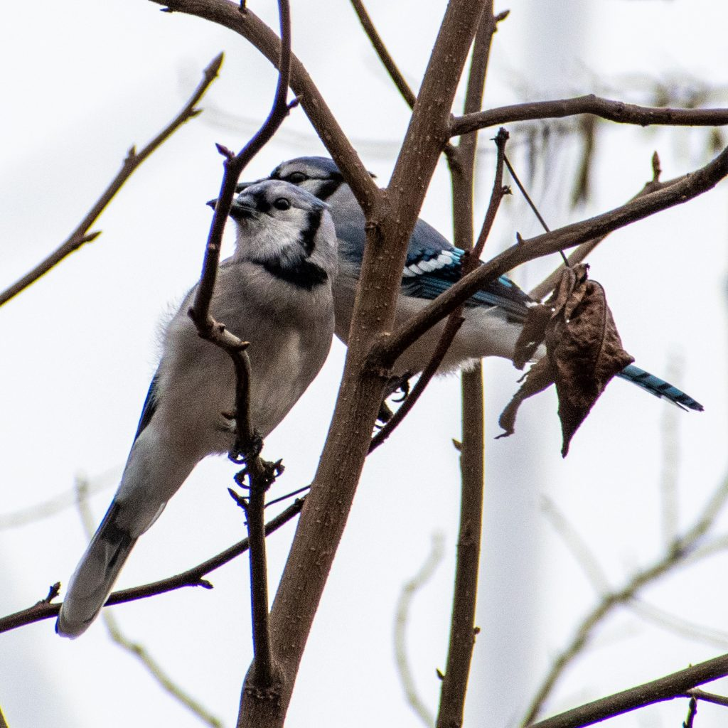 Blue jays, Prospect Park