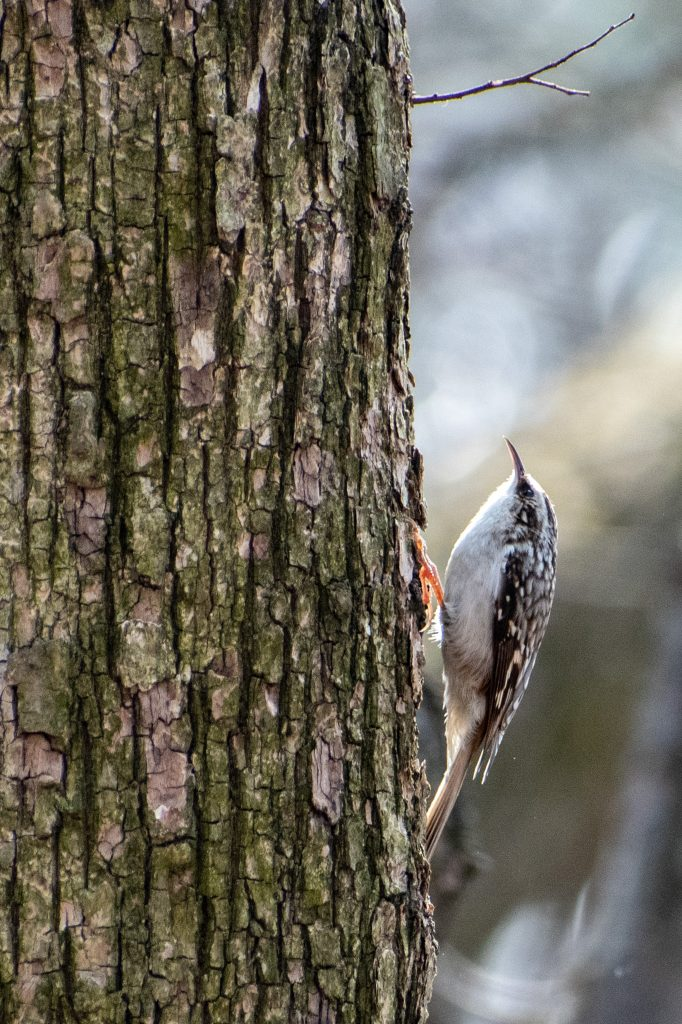 Brown creeper, Prospect Park