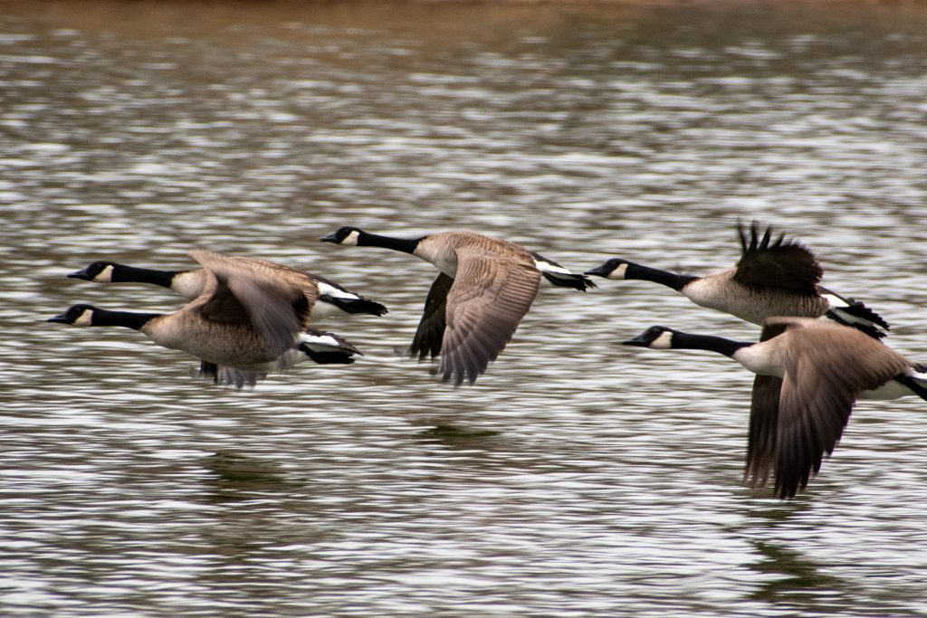 Canada geese, Prospect Park