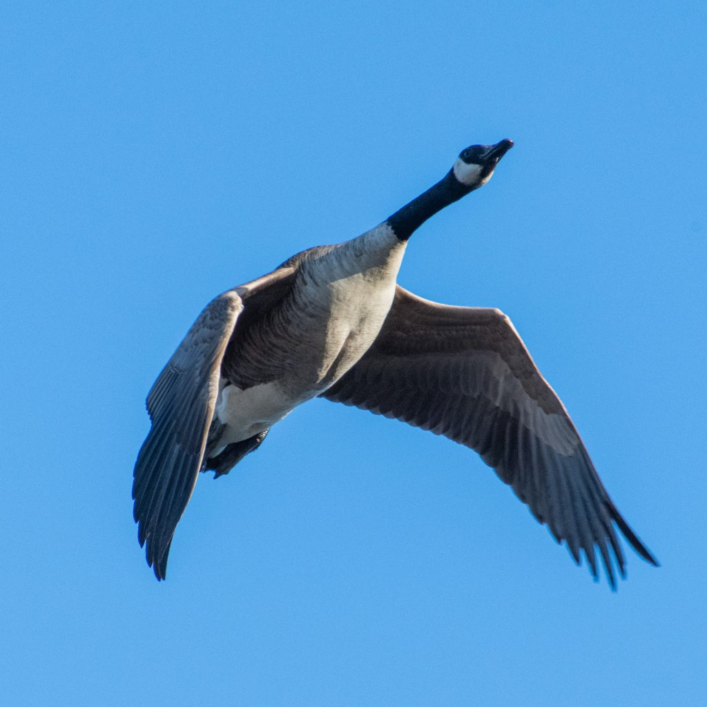 Canada goose, Shirley Chisholm State Park