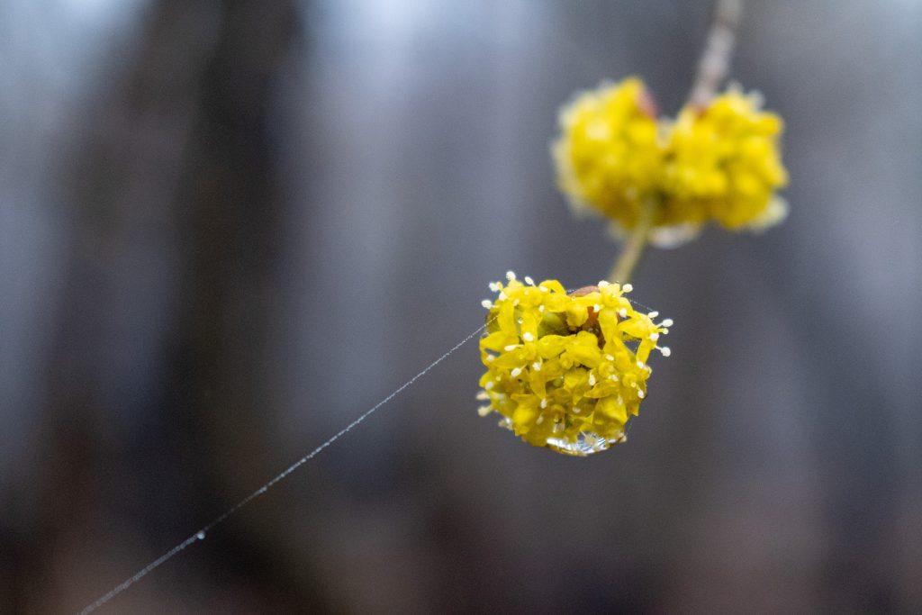 Cornelian-cherry dogwood flower, Prospect Park
