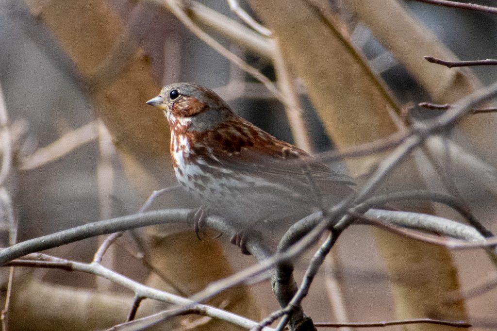 Fox sparrow, Green-Wood Cemetery