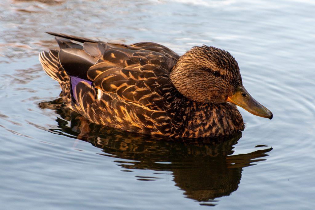 Mallard (female), Prospect Park