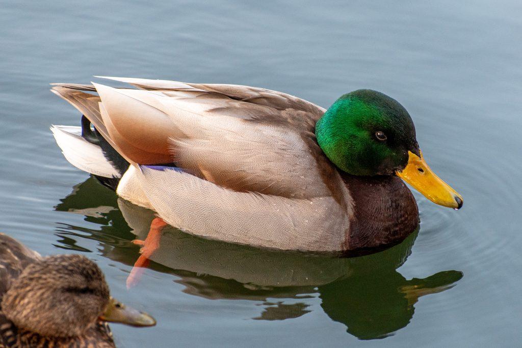 Mallard (male), Prospect Park