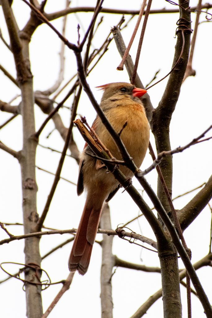 Northern cardinal (female), Prospect Park