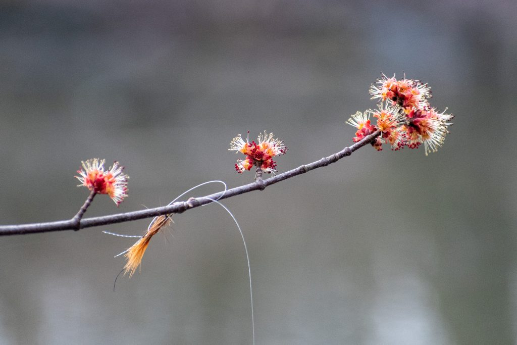 Red maple flowers and fishing lure, Prospect Park
