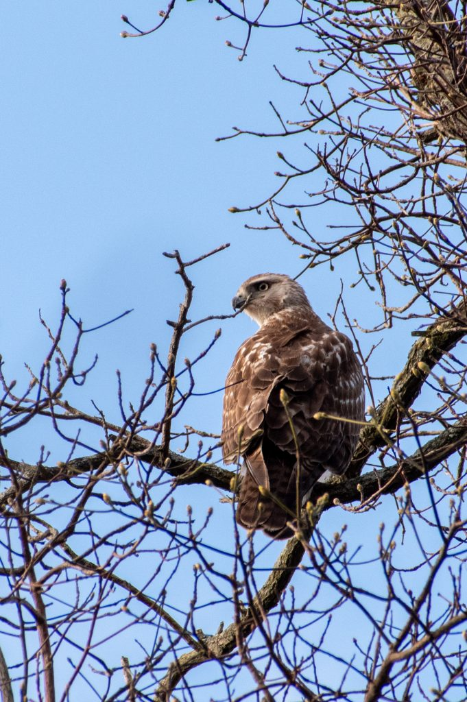 Red-tailed hawk, Prospect Park